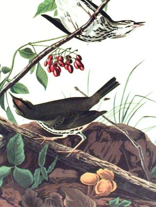 "Golden-crowned Thrush. From ""The Birds of America"" (Amsterdam Edition)"