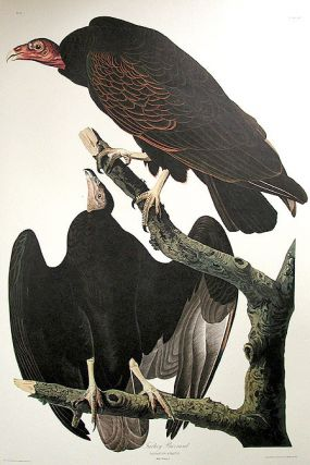 "Turkey Buzzard. From ""The Birds of America"" (Amsterdam Edition). John James AUDUBON"