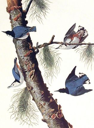 "White-breasted Black-capped Nuthatch. From ""The Birds of America"" (Amsterdam Edition)"