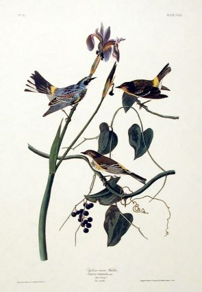 "Yellow-crown Warbler. From ""The Birds of America"" (Amsterdam Edition). John James AUDUBON"