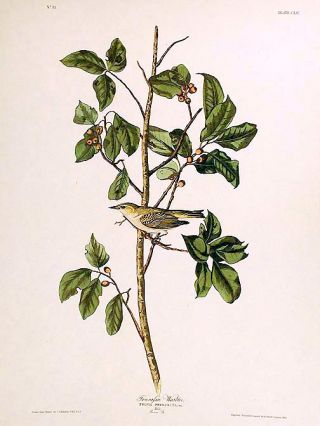 "Tennessee Warbler. From ""The Birds of America"" (Amsterdam Edition). John James AUDUBON"