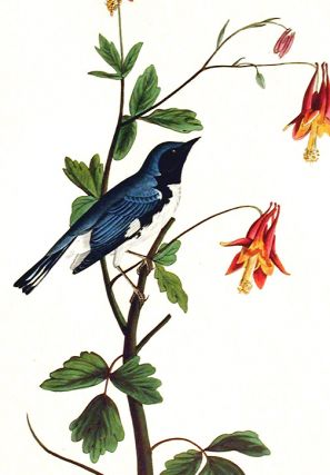 """Black-throated Blue Warbler. From """"The Birds of America"""" (Amsterdam Edition)"""