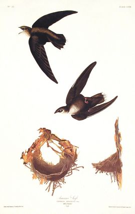 "American Swift. From ""The Birds of America"" (Amsterdam Edition). John James AUDUBON."