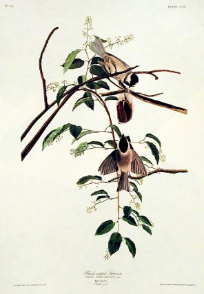 "Black-capped Titmouse. From ""The Birds of America"" (Amsterdam Edition)"