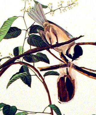 "Black-capped Titmouse. From ""The Birds of America"" (Amsterdam Edition). John James AUDUBON"