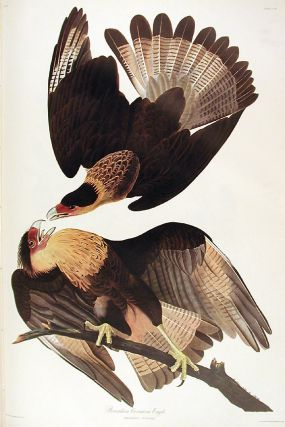 "Brasilian Caracara Eagle. From ""The Birds of America"" (Amsterdam Edition). John James AUDUBON"