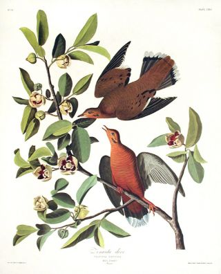 "Zenaida Dove. From ""The Birds of America"" (Amsterdam Edition). John James AUDUBON"