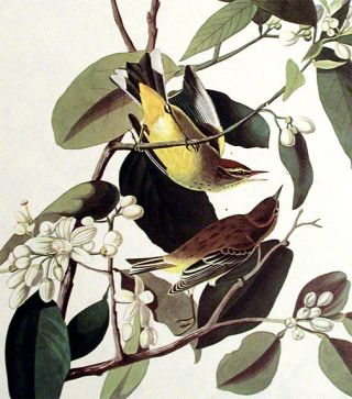 "Palm Warbler. From ""The Birds of America"" (Amsterdam Edition)"