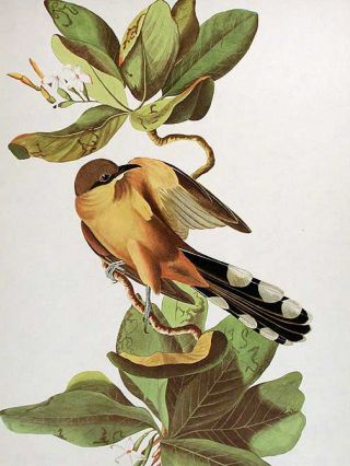 """Mangrove Cuckoo. From """"The Birds of America"""" (Amsterdam Edition)"""