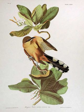 "Mangrove Cuckoo. From ""The Birds of America"" (Amsterdam Edition). John James AUDUBON"