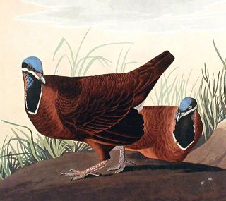 """Blue-headed Pigeon. From """"The Birds of America"""" (Amsterdam Edition)"""