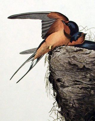 "Barn Swallow. From ""The Birds of America"" (Amsterdam Edition)"