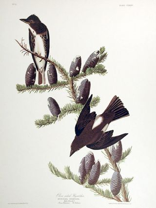 "Olive sided Flycatcher. From ""The Birds of America"" (Amsterdam Edition). John James AUDUBON"