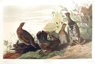 "Spotted Grous. From ""The Birds of America"" (Amsterdam Edition). John James AUDUBON"