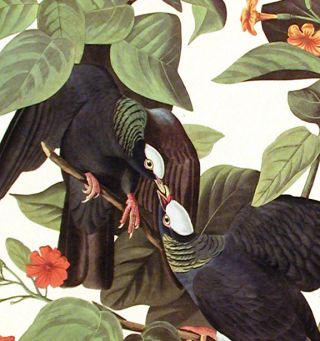 "White-crowned Pigeon. From ""The Birds of America"" (Amsterdam Edition)"