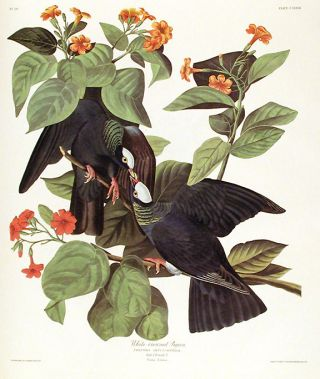 "White-crowned Pigeon. From ""The Birds of America"" (Amsterdam Edition). John James AUDUBON"