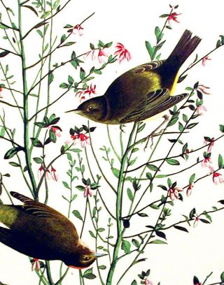 "Orange-crowned Warbler. From ""The Birds of America"" (Amsterdam Edition)"