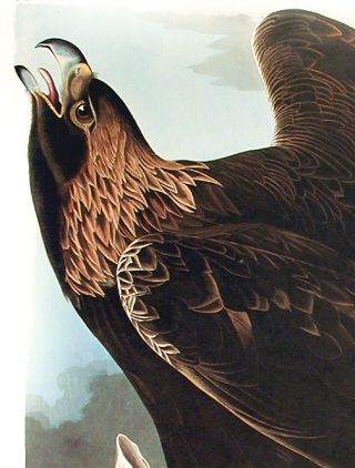 """Golden Eagle. From """"The Birds of America"""" (Amsterdam Edition)"""