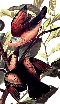 "Ground Dove. From ""The Birds of America"" (Amsterdam Edition)"