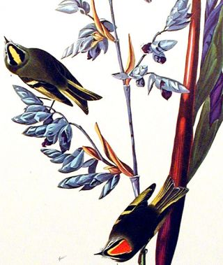 "Golden crested Wren. From ""The Birds of America"" (Amsterdam Edition)"