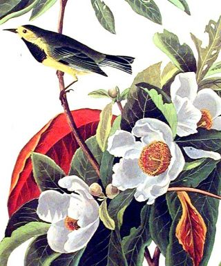 "Bachman's Warbler. From ""The Birds of America"" (Amsterdam Edition)"