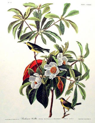 "Bachman's Warbler. From ""The Birds of America"" (Amsterdam Edition). John James AUDUBON"
