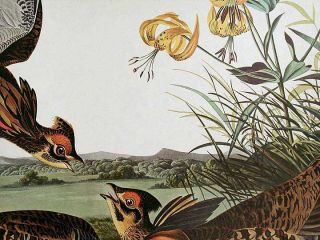 "Pinnated Grouse. From ""The Birds of America"" (Amsterdam Edition)"