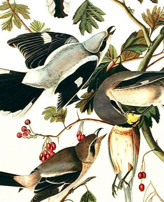"""Great American Shrike or Butcher Bird. From """"The Birds of America"""" (Amsterdam Edition)"""