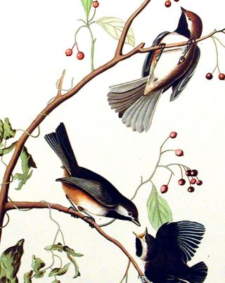 "Canadian Titmouse. From ""The Birds of America"" (Amsterdam Edition)"