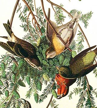 "American Crossbill. From ""The Birds of America"" (Amsterdam Edition)"