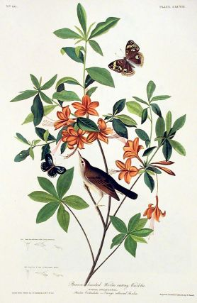 "Brown headed Worm Eating Warbler. From ""The Birds of America"" (Amsterdam Edition). John James AUDUBON."