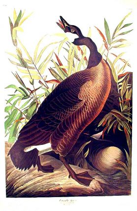 "Canada Goose. From ""The Birds of America"" (Amsterdam Edition). John James AUDUBON."