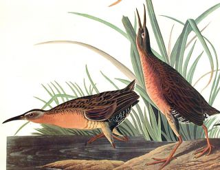 """Virginia Rail. From """"The Birds of America"""" (Amsterdam Edition)"""