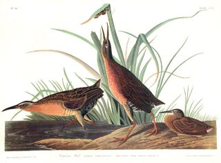 "Virginia Rail. From ""The Birds of America"" (Amsterdam Edition). John James AUDUBON"