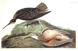 "Esquimaux Curlew. From ""The Birds of America"" (Amsterdam Edition). John James AUDUBON"