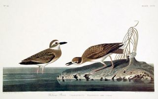 "Wilson's Plover. From ""The Birds of America"" (Amsterdam Edition). John James AUDUBON"