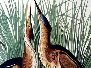 "Least Bittern. From ""The Birds of America"" (Amsterdam Edition)"