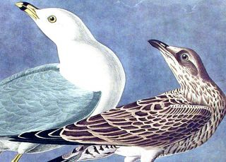 "Common Gull. From ""The Birds of America"" (Amsterdam Edition)"