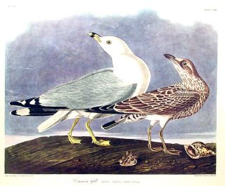 "Common Gull. From ""The Birds of America"" (Amsterdam Edition). John James AUDUBON"