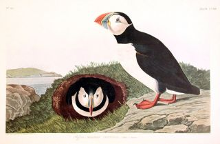 "Puffin. From ""The Birds of America"" (Amsterdam Edition). John James AUDUBON"