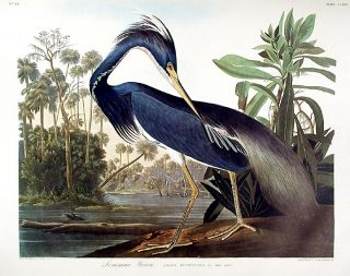 "Louisiana Heron. From ""The Birds of America"" (Amsterdam Edition). John James AUDUBON"
