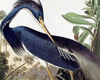 "Louisiana Heron. From ""The Birds of America"" (Amsterdam Edition)"