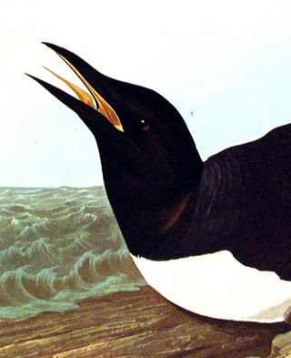 "Foolish Guillemot. From ""The Birds of America"" (Amsterdam Edition)"
