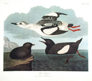 "Black Guillemot. From ""The Birds of America"" (Amsterdam Edition). John James AUDUBON."