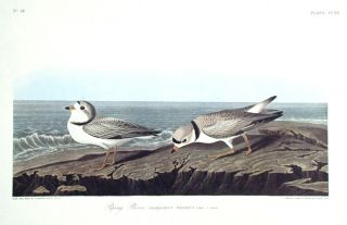 "Piping Plover. From ""The Birds of America"" (Amsterdam Edition). John James AUDUBON"