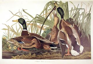 "Mallard Duck. From ""The Birds of America"" (Amsterdam Edition). John James AUDUBON"