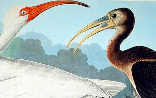 "White Ibis. From ""The Birds of America"" (Amsterdam Edition)"