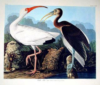 "White Ibis. From ""The Birds of America"" (Amsterdam Edition). John James AUDUBON"