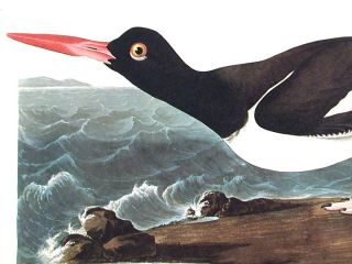 "Pied oyster-catcher. From ""The Birds of America"" (Amsterdam Edition)"