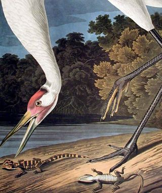 "Hooping Crane. From ""The Birds of America"" (Amsterdam Edition)"